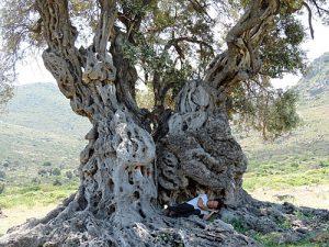 Olive Oil Tree In Morocco