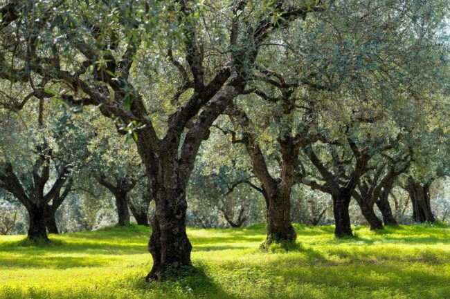 Extra Virgin Olive Oil And Environmental Wellness