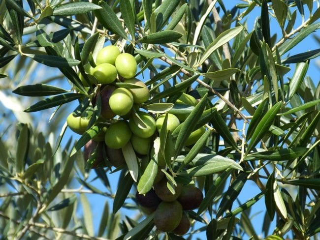 Health Building Benefits Of The Extra Virgin Olive Oil