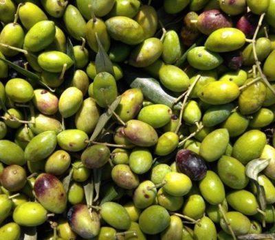 Polyphenol Rich Olive Oil