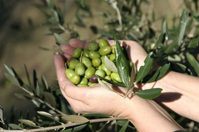 Extra Virgin Olive Oil Health Benefits