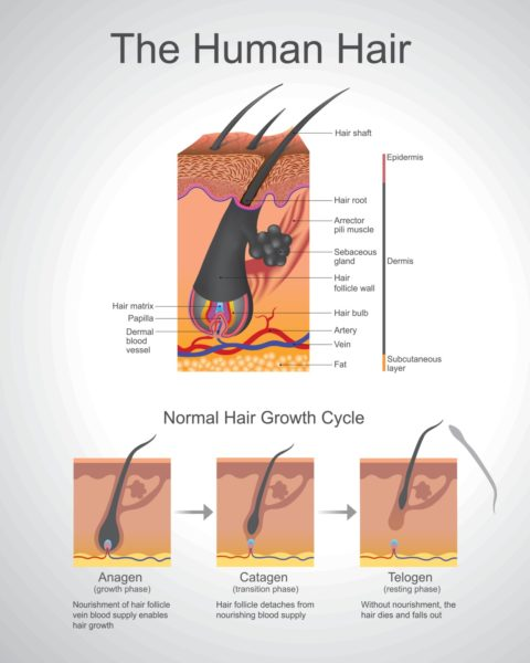 Human Hair Anatomy Illustration Dermis Epidermis
