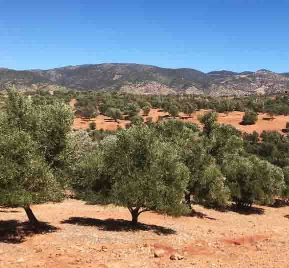 Olives In The Atlas Mountains