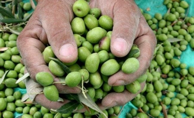 Hand Picked Olives For Morocco Gold