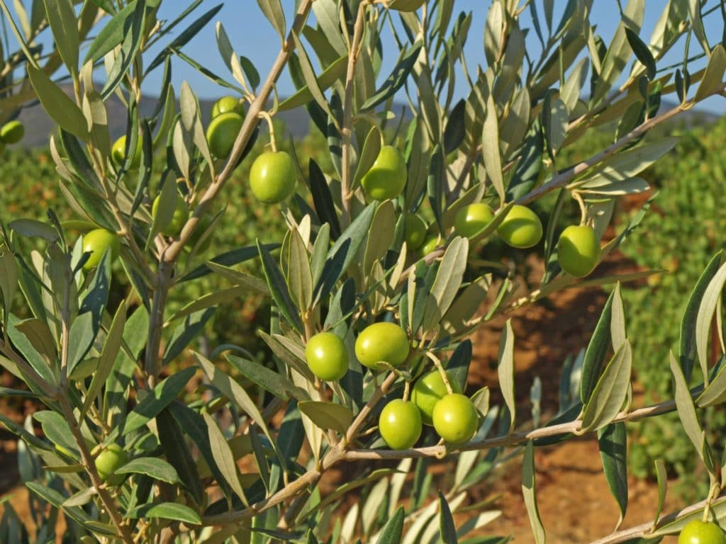 Polyphenols In Morocco Gold Extra Virgin Olive Oil. Lignans is one of the polyphenols.